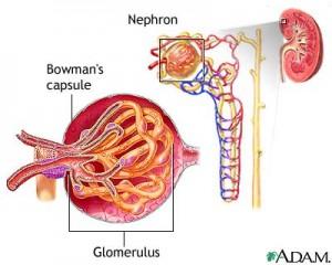 glomerulus2-300x240